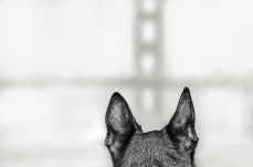 GG bridge and a dog